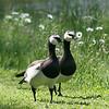 Barnacle goose pair (Branta leucopsis)