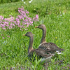 Bean goose pair (Anser fabalis) walking in  meadow