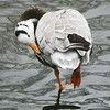 Bar-headed Goose (Anser indicus) preening