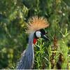 Profile of grey crowned crane (Balearica regulorum) in summer