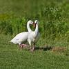 Cozy Coscorba Swan pair (Coscoroba coscoroba)