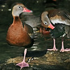 Two black-bellied ducks (Dendrocygna autumnalis), one standing on one leg, one preening