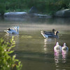 Three waterfowl couples swim in the morning mist