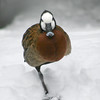 White-faced duck (Dendrocygna viduata) standing on one leg in the snow