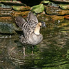 Nene goose (Branta sandvicensis) in water spreading his wings