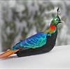 Impeyan Pheasant (Lophophorus impejanus) in the snow