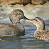 Gadwell Teal (Anas strepera) pair courting in water