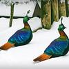 Impeyan Pheasant (Lophophorus impejanus) pair explores the snowy terrain
