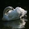 Mute swan (Cygnus olor) preening