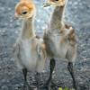 Baby Demoiselle Cranes (Grus virgo)