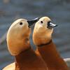 Ruddy shelduck pair (Branta canadensis) in pond