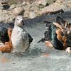 Orinoco Goose pair (Neochen jubata) splashing in pond