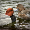 Redhead duck (Aythya americana) pair courting in the water