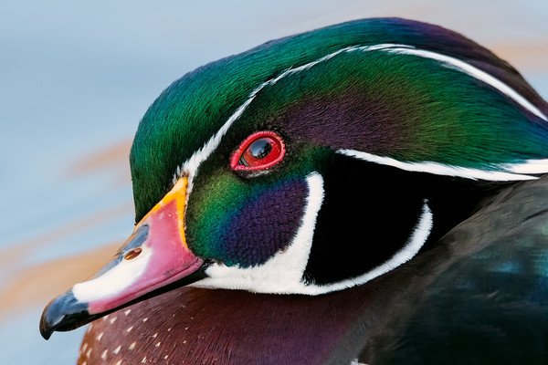 Profile of a wood duck