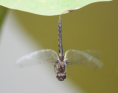 dragonfly-5539