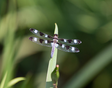 Dragonfly - female Common Whitetail.
