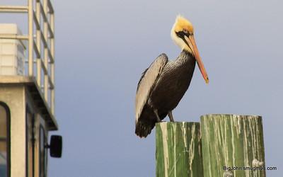 MR. Pelican