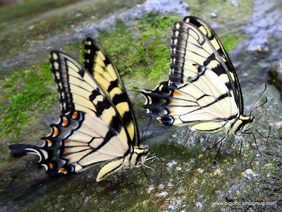 Two butterflys for the price of one!