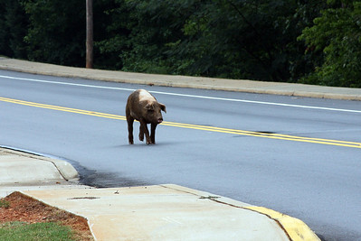 Why does a Hog cross the road?