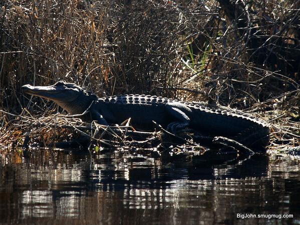 The gators were active!