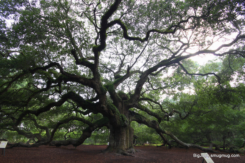 Angel Oak near Charleston S.C.