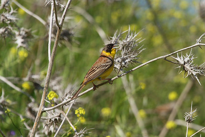 Black-headed Bunting (male) / Kara Başlı Kirazkuşu (erkek) Emberiza melanocephala Kayapa Çamlık Mahallesi, Nilüfer, Bursa Province, Turkey 30 April 2016