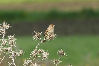 Corn Bunting / Tarla Kirazkuşu Nominate subspecies Emberiza calandra calandra Kayapa Çamlık Mahallesi, Nilüfer, Bursa Province, Turkey 7 May 2016