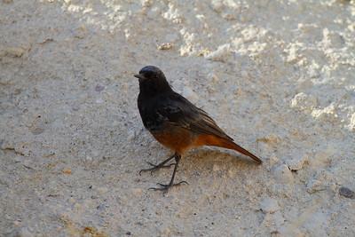 Black Redstart (male) / Kara kızılkuyruk (erkek) Nominate subspecies Phoenicurus ochruros ochruros Göreme Açık Hava Müzesi, Göreme, Nevşehir Province, Turkey 19 August 2015