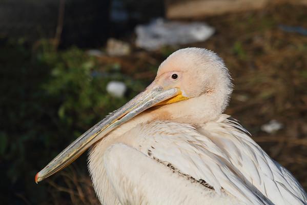 Great White Pelican / Ak pelikan Pelecanus onocrotalus Uluabat Gölü, Gölyazı Mahallesi, Nilüfer, Bursa Province, Turkey 27 January 2015