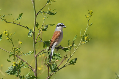 Red-backed Shrike (male) / Kızılsırtlı örümcekkuşu (erkek) kobylini subspecies Lanius collurio kobylini İrfaniye Mahallesi, Nilüfer, Bursa Province, Turkey 8 May 2016