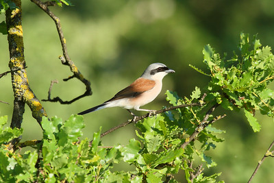 Red-backed Shrike (male) / Kızılsırtlı örümcekkuşu (erkek) kobylini subspecies Lanius collurio kobylini Kayapa Çamlık Mahallesi, Nilüfer, Bursa Province, Turkey 30 April 2016