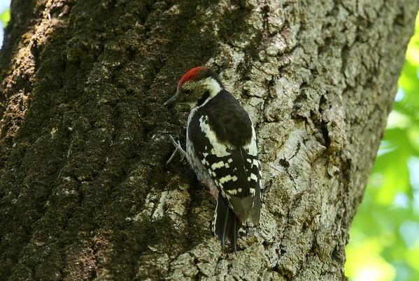 "Middle Spotted Woodpecker (male) / Ortanca Ağaçkakan (erkek) ""Southern Turkey"" subspecies Dendrocopos medius anatoliae Family Picidae Karacabey Longoz Ormanı, Karacabey, Bursa Province, Turkey 5 June 2016"