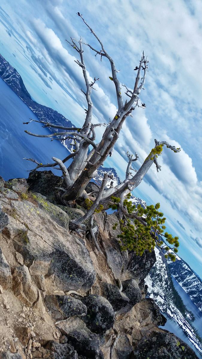 Whitebark Pine: An Endangered View | Crater Lake National Park
