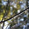 Ice on Vine Maple Twigs