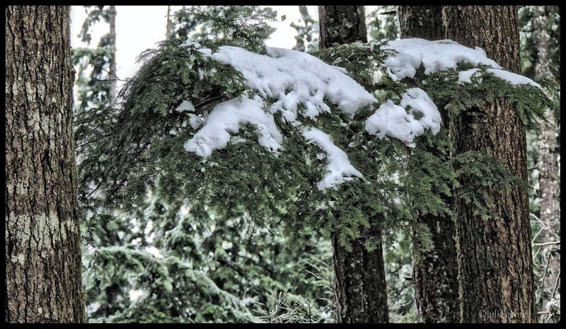 Western Hemlock Boughs Embrace the Snow