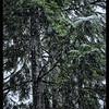 Christmas Snow on the Fir Trees