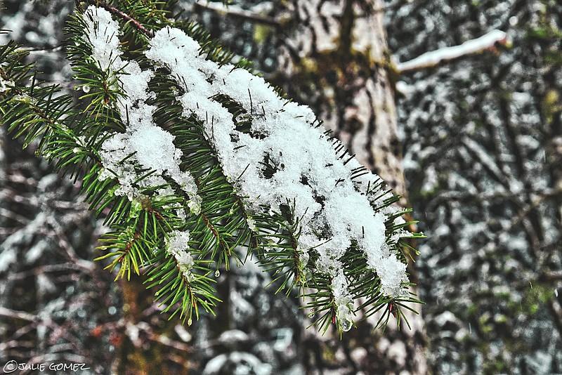 Snow on Douglas-Fir—Pseudotsuga menziesii