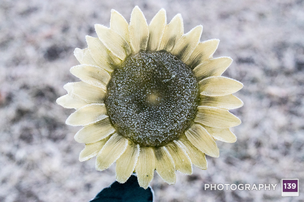 Flowers - Alternate