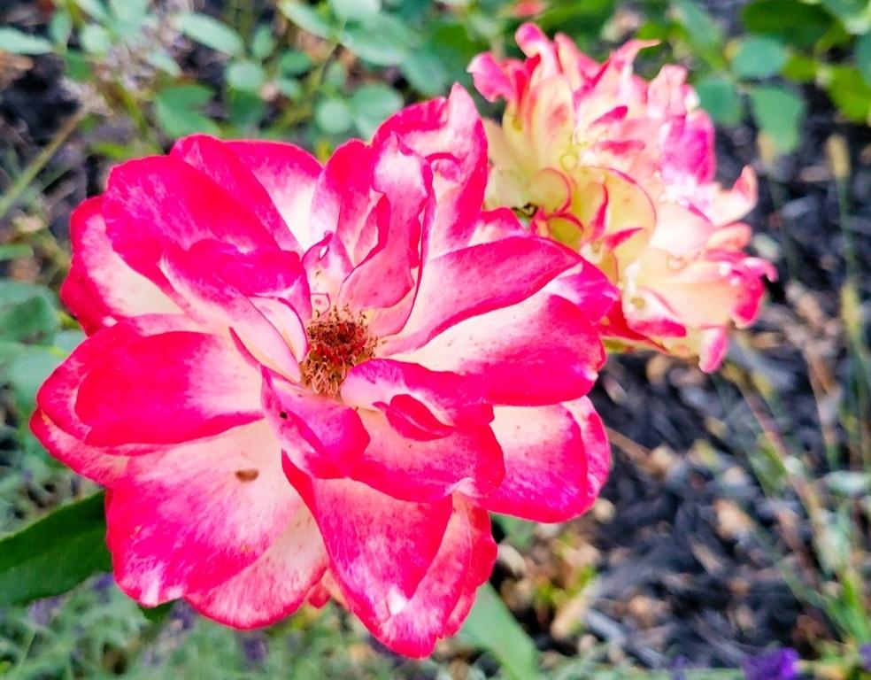 WEEK 316 - FLOWER - CARLA STENSLAND