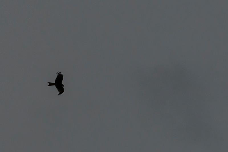 The ubiquitous kite.
