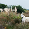 The Camargue horse in the wild.