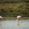 Flamingos in the marshes of Camargue.