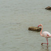 Flamingo in the marshes of Camargue.