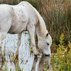 The Camargue horse is an ancient breed of horse indigenous to the Camargue area in southern France. Its origins remain relatively unknown, although it is generally considered one of the oldest breeds of horses in the world.