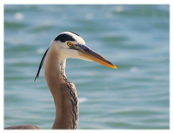 Great Blue Heron<br /> Ardea herodias<br /> 1968