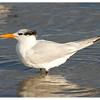 Royal Tern<br /> Thalasseus maximus<br /> 01070