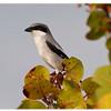 Loggerhead Shrike<br /> Lanius Ludovicianus<br /> 2375