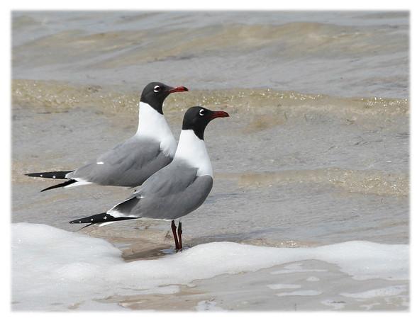 Laughing Gull<br /> Larus atricilla<br /> 41000