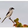 Loggerhead Shrike<br /> Lanius Ludovicianus<br /> Catalog:2374N