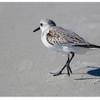 Sanderling<br /> Calicris alba<br /> 4896